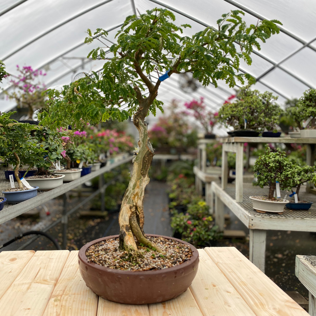 Brazilian Rain Tree Bonsai Tree New England Bonsai Web1072