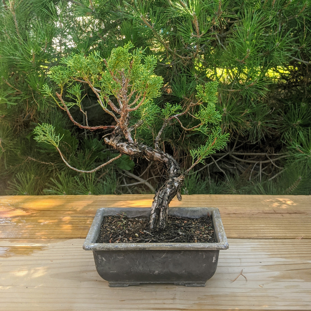 Itoigawa Shimpaku Juniper Bonsai Tree New England Bonsai Web4161