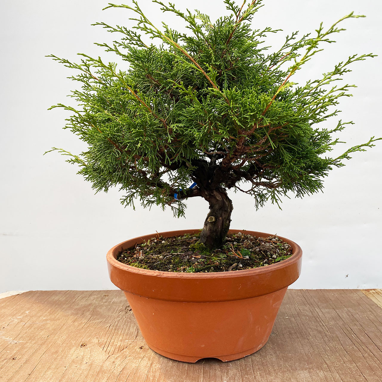 Shohin Shimpaku Juniper Kishu At New England Bonsai Web2025b