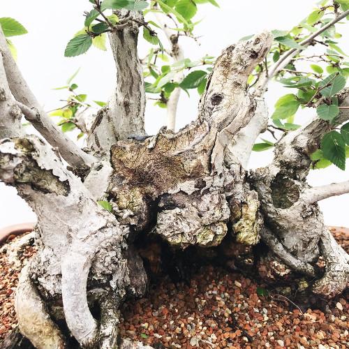Korean Hornbeam Bonsai Tree New England Bonsai Gardens