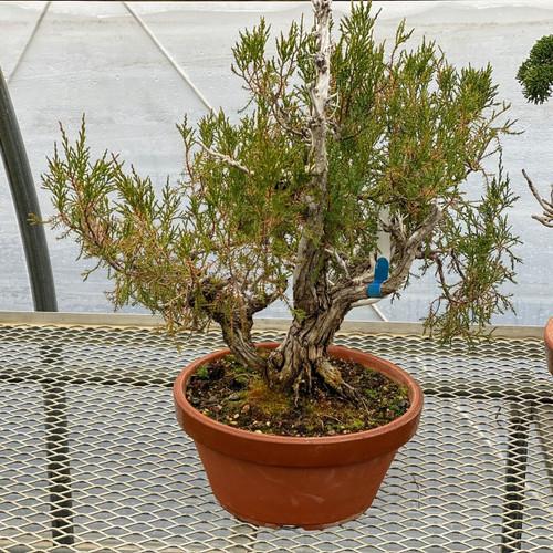 Large Collected Juniper In Tokoname Grow Pot (Web1418)