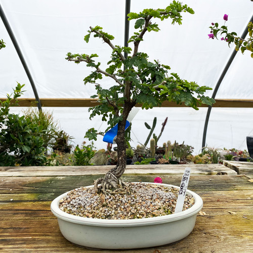 Texas Ebony Bonsai Tree New England Bonsai Uk 16