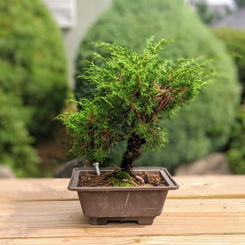 Bonsai Trees Indoor Plants New England Bonsai