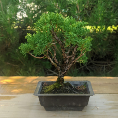 Itoigawa Shimpaku Juniper Bonsai Tree New England Bonsai Web4162