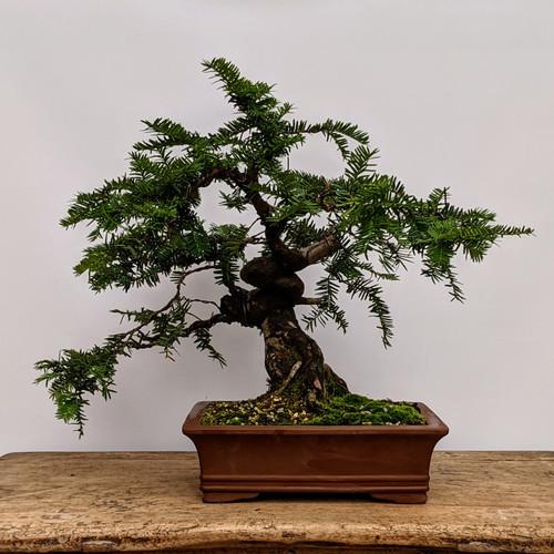Wired Japanese Yew in Unglazed Ceramic Pot (No. 4123)