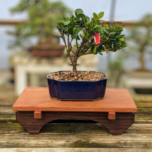 "12"" Bonsai Display Table - Black Walnut & Cherry (045)"