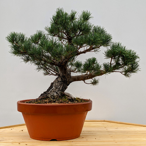 """Imported Japanese """"Five Needle"""" White Pine In a Tokoname Grow Pot (2057)"""