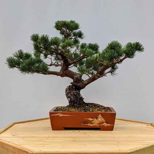 "Imported Japanese ""Five Needle"" White Pine (2058)"
