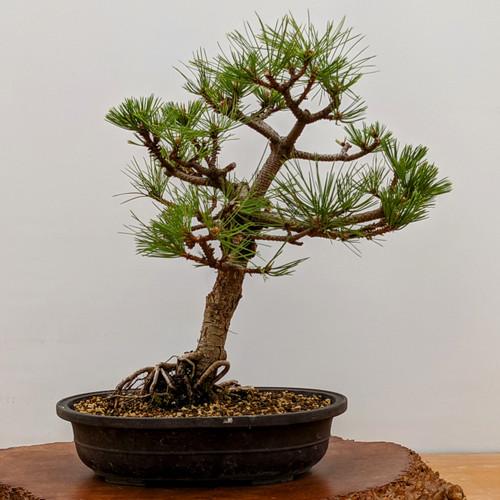 "Dwarf Austrian Black Pine ""Hornibrookiana"" in a Mica Pot (5263)"