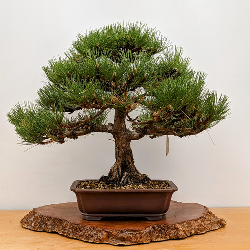 """Dwarf Austrian Black Pine """"Hornibrookiana"""" in Yixing Pot (5271)"""