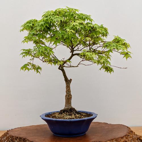 Japanese Maple in Heavy Glazed Yixing Pot (5360)