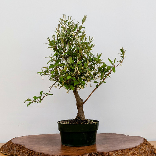 Flowering Silverberry Gumi Eleagnus Pre-Bonsai (5908)