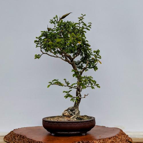 Large Texas Ebony with bean pod in Yixing Ceramic Pot (5791)