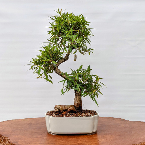 Willow Leaf with Fat Trunk In Japanese Glazed Pot (6330)