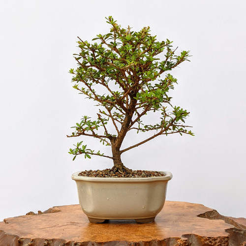 Flowering Dwarf Yaupon Holly 'Vomitoria' in Glazed Japanese Pot (No. 5930)
