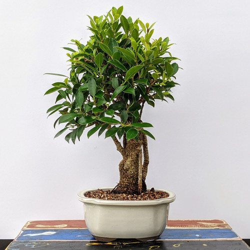 Tiger Bark Ficus with Gnarly Air Roots (No. 6349)