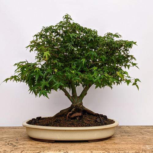 Kiyohime Japanese Maple In Ceramic Pot (No. 5545)