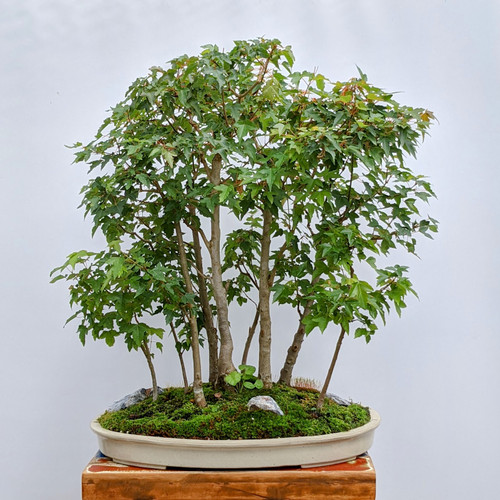 9 tree Trident Maple Forest  (In-Store Pickup Only)
