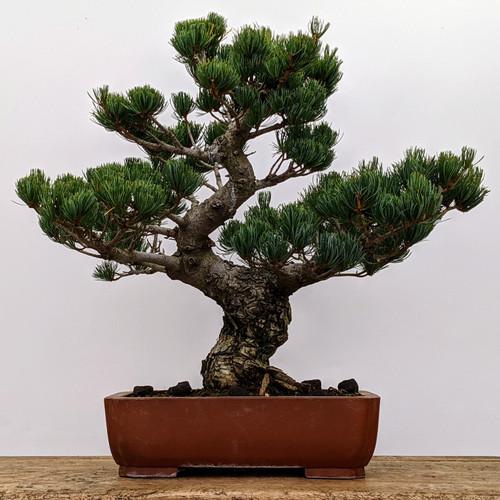 "Imported Japanese ""Five Needle"" White Pine (#2060)"