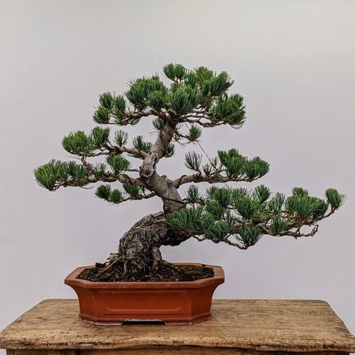 "Imported Japanese ""Five Needle"" White Pine (#2053)"