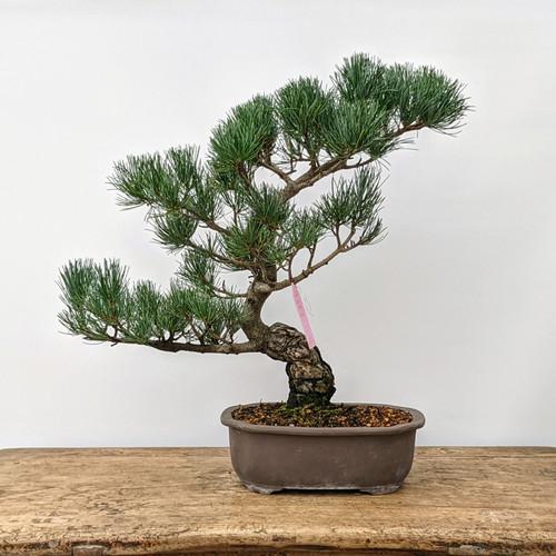 "Imported Japanese ""Five Needle"" White Pine (#6850)"