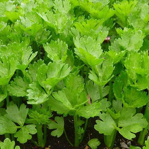 Leaf Celery Seedlings