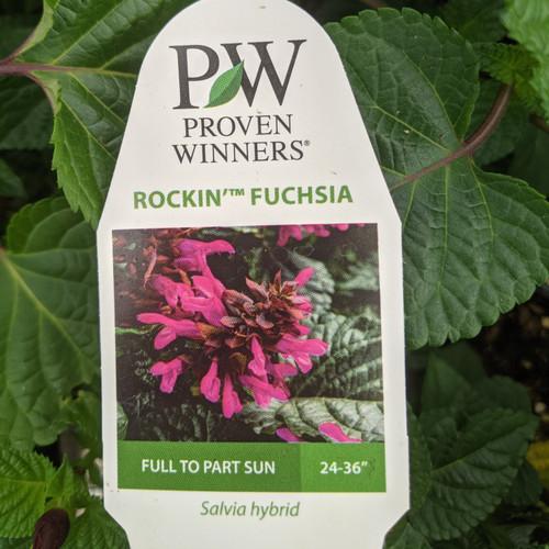 Salvia, Rockin Fuchsia