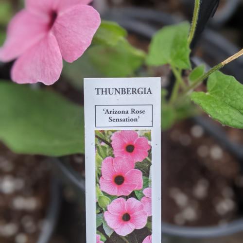 Thunbergia, Black Eyed Susan Vine
