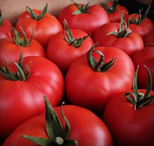 Tomato Seedlings: Red Slicers