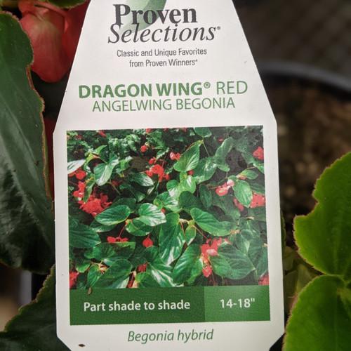 Begonia, Dragon Wing - Red