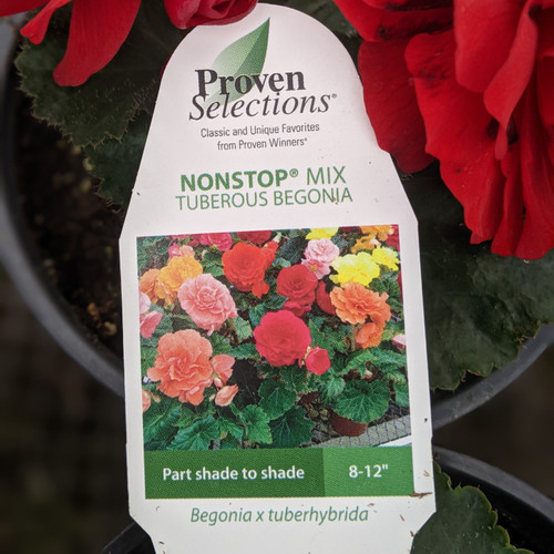 Begonia, Nonstop - Variety of Colors