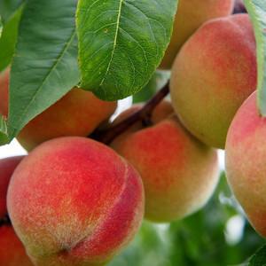 ginger peach fragrance oil MakeYourOwn