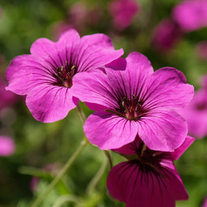 Geranium Essential Oil  MakeYourOwn
