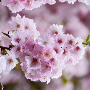 japanese cherry blossom fragrance oil MakeYourOwn