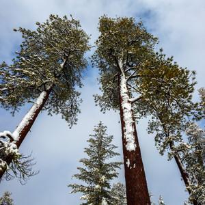 Redwood & Cedar Fragrance Oil
