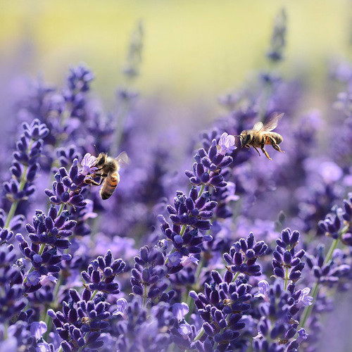 lavender essential oil MakeYourOwn