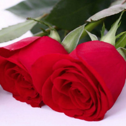 red roses fragrance oil MakeYourOwn