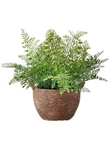 """13"""" Potted Fern"""