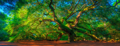 "'Angel Oak"" by Cavanah. This is a limited edition, signed and numbered giclŽe print.  A certificate of authenticity will be included with your purchase"
