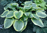 Beautiful large hosta with a wonderful ivory/cream edge. Great grower and will be a stunner in any garden that needs a larger leafed hosta with a standout margin.