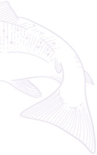 White outline of whole Alaskan salmon. Decorative illustration.