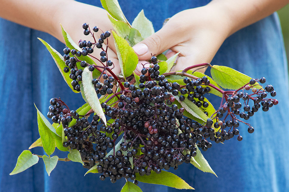 Elderberry Tradition
