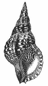 Emerald Creek Concha Seashell Stamp - Cling Mount