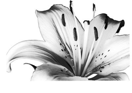 Tiger Lily - Cling Mount