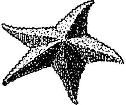 Emerald Creek Starfish - Cling Mount