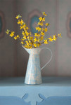 Forsythia in a French Pitcher