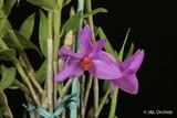 Dendrobium glomeratum-species