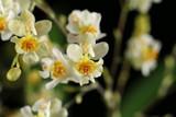 Oncidium Twinkle 'White Shower'