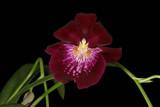 Miltoniopsis Evergreen Premier