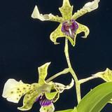 Dendrobium (Little Atro x atroviolaceum)